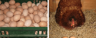 Probiotics for Broiler Chicken layer laying hens Feed ingredients factory made in china