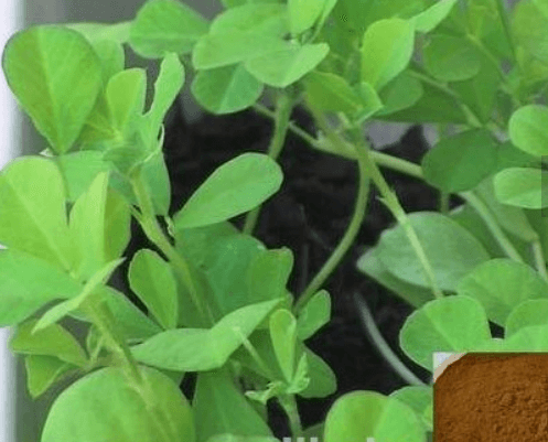 GMP certified Fenugreek Extract 10:1